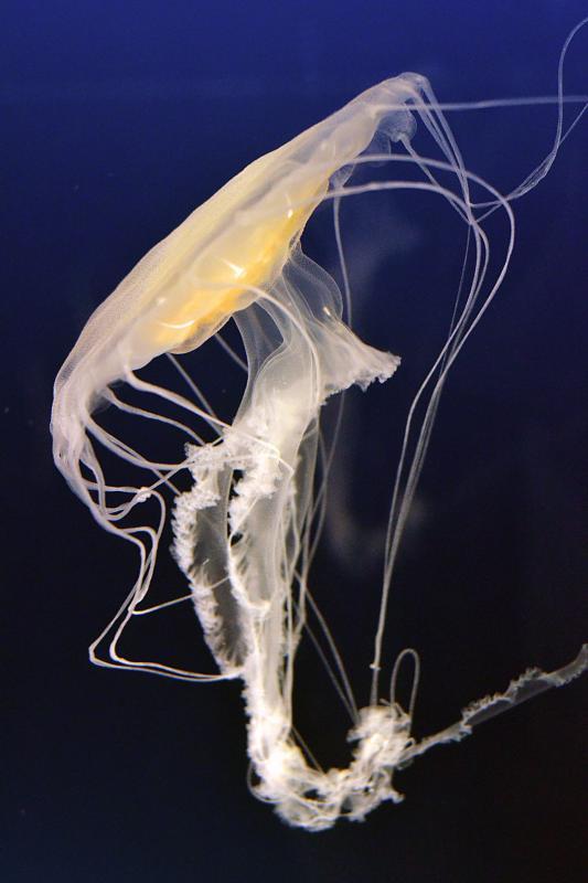 Qualle im Aquarium Osaka