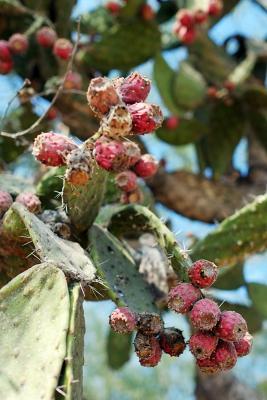 Kaktus bei den Ruinen von Tula