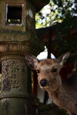 Neugieriges Reh im Park von Nara