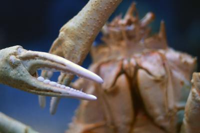 Riesige Spinnen-Krabbe im Aquarium Osaka