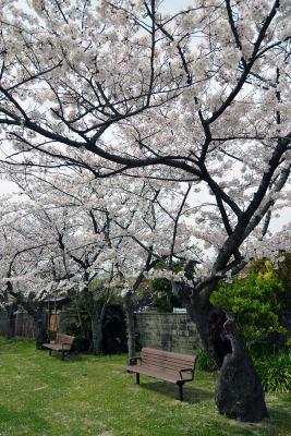 Kirschblüte in Fukuoka