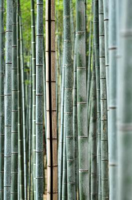 Bambuswald nahe Kyoto