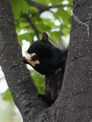 Eines der vielen schwarzen Eichhörchen Torontos