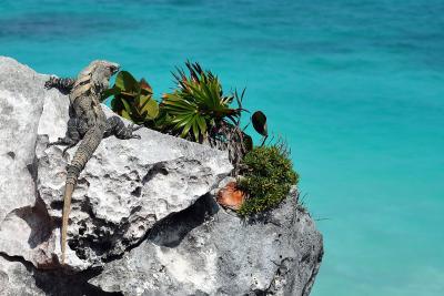 Ein Leguan sonnt sich am Strand