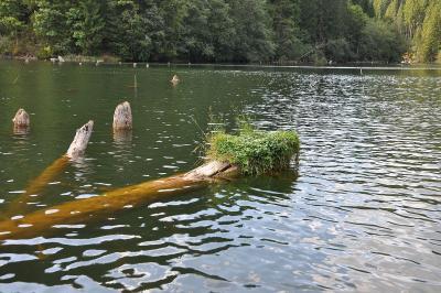 Baumstämme im Lacu Roșu [2]